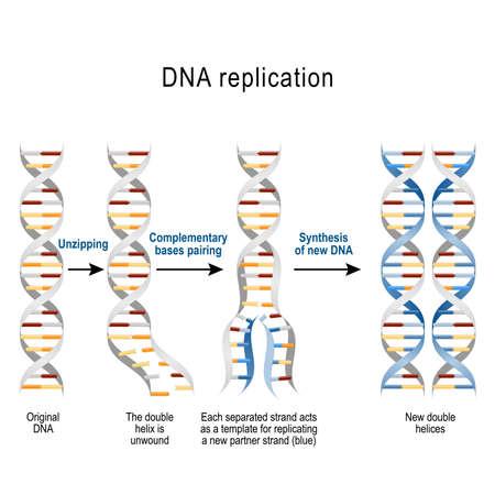 Replicación del ADN. Pasos. se desenrolla la doble hélice. Cada hebra separada actúa como plantilla para replicar una nueva hebra. Diagrama vectorial para uso científico, médico y educativo.