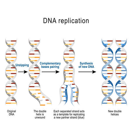 DNA replication. Steps. double helix is unwound. Each separated strand acts as a template for replicating a new strand. Vector diagram for scientific, medical, and educational use