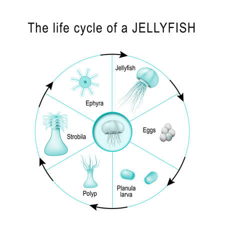 life cycle of a jellyfish. The developmental stages of Medusozoa (egg, jellyfish, ephyra, strobila, polyp, planula, larva). Cnidaria. Vector diagram for scientific, and educational use