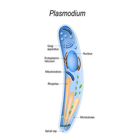 Plasmodium is an intracellular, parasites of vertebrates and insects (mosquito) that causes the disease malaria. Diagram of Plasmodium structure. vector illustration for medical, educational and science use