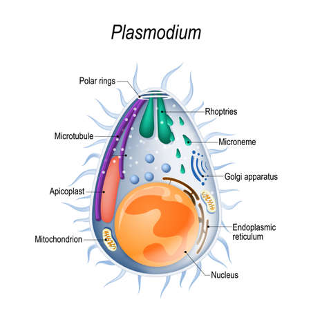 Plasmodium is the malaria parasite, is a large genus of parasitic protozoa. Infection with these protozoans is known as malaria, a deadly disease. Diagram of Plasmodium merozoites  structure. vector illustration for medical, educational and science use Stock Vector - 105359329