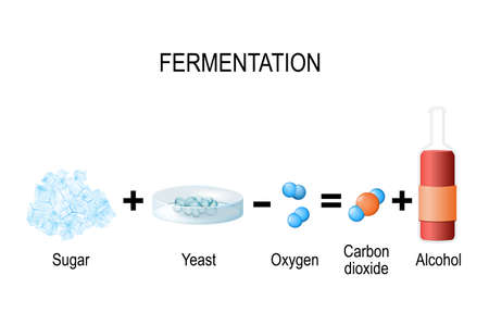Fermentation is a metabolic process: consumes sugar with yeast or bacteria in the absence of oxygen. The result are organic acids, gases, or alcohol. vector illustration for medical, educational and science use