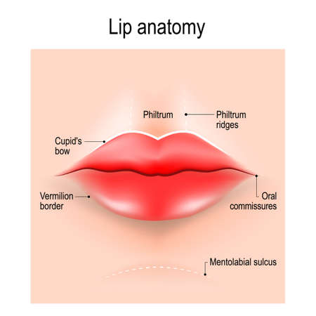 Anatomy of lips. vector illustration for use in medicine, skin care, education, science, and cosmetic surgery. Stock Illustratie