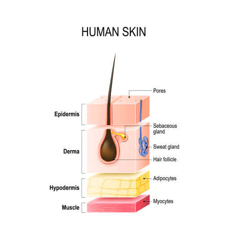 Layers of Healthy Human Skin with hair follicle, sweat and sebaceous glands. Epidermis, dermis, hypodermis and muscle tissue. Vector illustration for your design, educational and medical use
