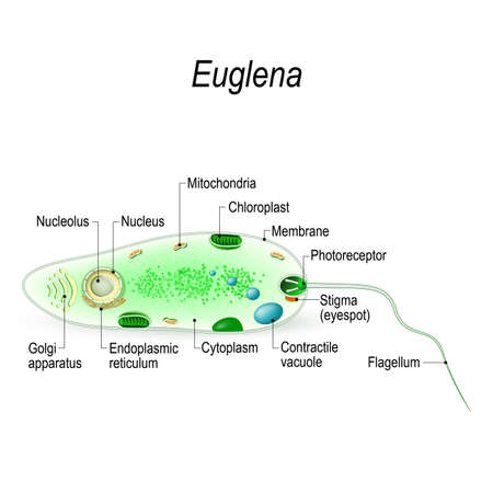 Anatomy of a euglena. Euglena freshwater protozoan. It is composed of chlorophyll and has a rudimentary eye. Vector diagram