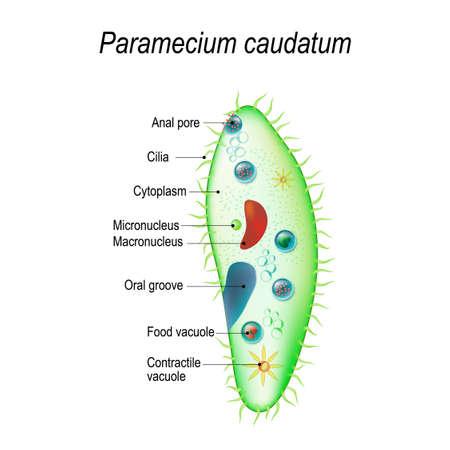Structuur van een paramecium caudatum. Vectorillustratie voor gebruik in onderwijs en wetenschap