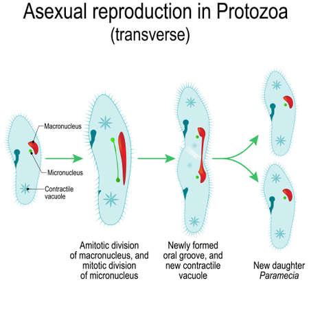 Reproducción asexual en protozoos (transversal). División de paramecia. Ilustración vectorial para uso educativo y científico.