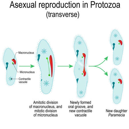 Riproduzione asessuata in protozoi (trasverso). Divisione Paramecia. Illustrazione vettoriale per uso educativo e scientifico