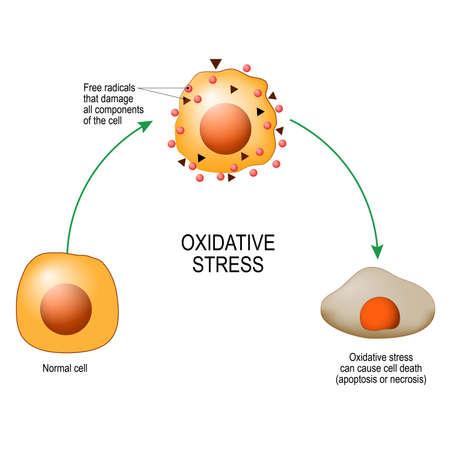 Estrés oxidativo. Desde célula normal, hasta estrés oxidativo y radicales libres agresivos, muerte celular. Diagrama vectorial para su diseño, educación, ciencia y uso médico.