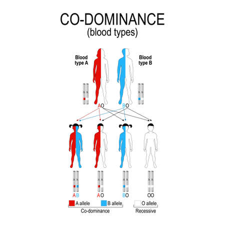 autosomal dominant or autosomal recessive for example A and B blood types in humans show co-dominance (O type is recessive to A and B). genetic disorders. vector diagram showing the potential outcomes. illustration for educational, science and medical use