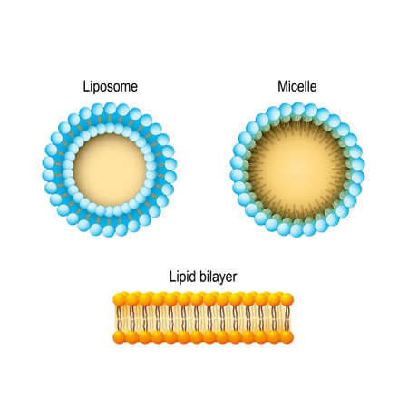 Cell membrane (Lipid bilayer), Micelle, Liposome. Phospholipids aqueous solution structures. A detailed diagram models of membrane Structure. Vector illustration for biology, scientific, and medical use. Фото со стока - 106996563