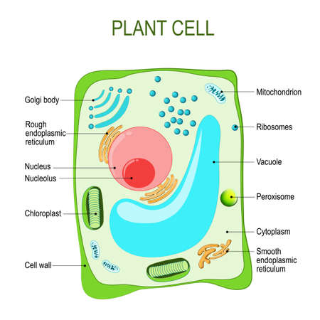 Plant cell anatomy. cross section. structure of a Eukaryotic cell. Vector diagram for your design, educational, medical, biological and science use Illustration