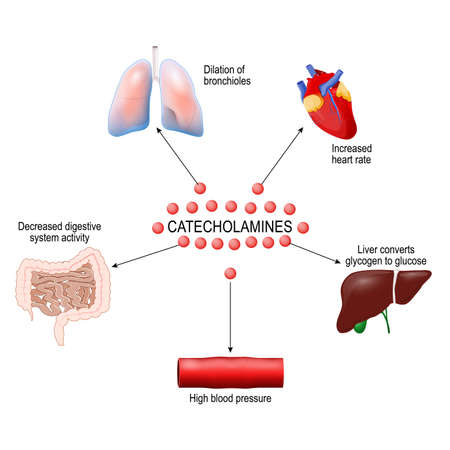 stress response system activation. Catecholamine: Adrenaline, Dopamine, Norepinephrine. Human anatomy. Vector diagram for your design, educational, medical, biological and science use