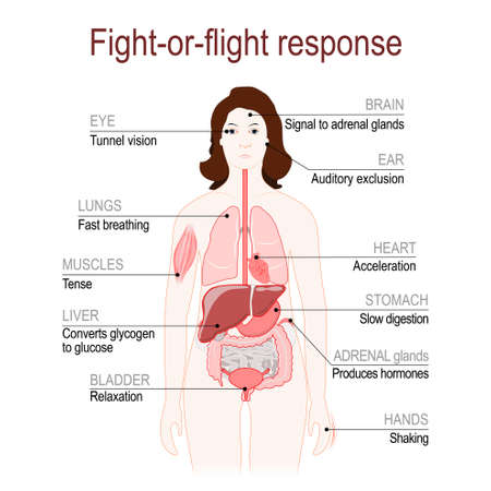 fight-or-flight response is a physiological reaction that occurs in response to threat to life. stress response system. Adrenaline and Norepinephrine. female silhouette with highlighted internal organs. Vector diagram for your design, educational, medical, biological and science use Standard-Bild - 107363207