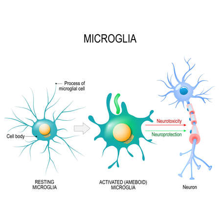 Activation of a microglial cell. Vector diagram for educational, medical, biological and science use Illustration