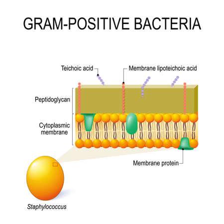 Zellwandstruktur von grampositiven Bakterien, beispielsweise Staphylococcus. Vektordiagramm für pädagogische, medizinische, biologische und wissenschaftliche Verwendung