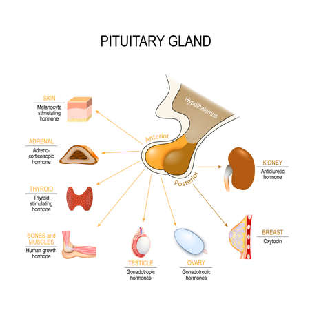 pituitary hormone functions. The two lobes, anterior and posterior, function as independent glands. Vector diagram for educational, medical, biological and science use
