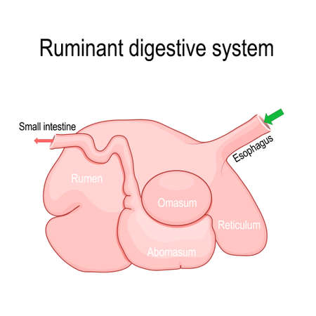 ruminant digestive system. Ruminants stomach have four compartments: rumen — primary site of microbial fermentation, reticulum, omasum, and abomasum — true stomach. Vector diagram for educational, medical, vet, biological and science use