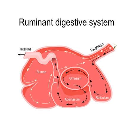 Sistema digestivo de rumiantes. sección transversal del estómago de los rumiantes: rumen (sitio primario de fermentación microbiana), retículo, omaso y abomaso (estómago verdadero). Diagrama vectorial para uso educativo, médico, veterinario, biológico y científico. Foto de archivo - 108877040