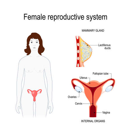 Female reproductive system. Silhouette of a woman with a highlighted uterus and ovaries. cross section of the female breasts. Vector diagram for educational, medical, biological and science use Illustration
