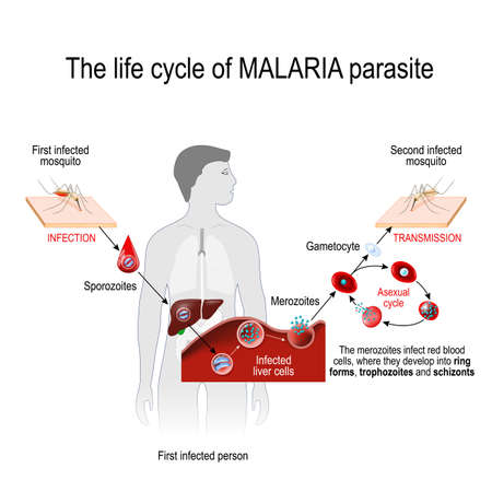 life cycle of a malaria parasite (from First infected mosquito to Second infected person). Malaria is a disease caused by a parasite called Plasmodium that is spread to humans by the bite of an infected mosquito. vector illustration for medical, educational and science use Illustration
