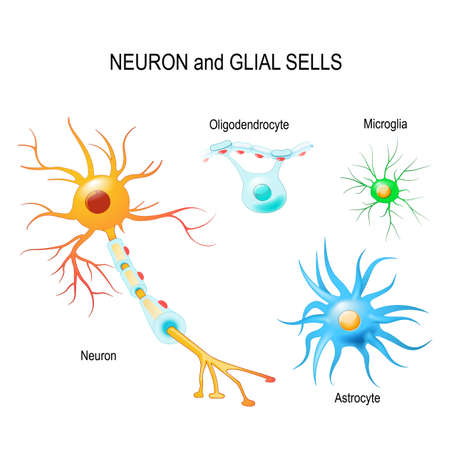 Cells of human's brain. Neuron and glial cells (Microglia, astrocyte and oligodendrocyte). Vector diagram for educational, medical, biological and science use