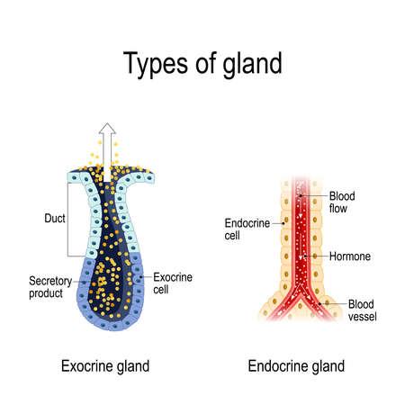Arten von Drüsen. Anatomie einer endokrinen und exokrinen Drüse. anders von Drüsensekretion. Kreuzung. Vektordiagramm für pädagogische, medizinische, biologische und wissenschaftliche Verwendung