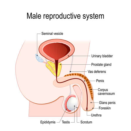 male reproductive system (Seminal vesicle, Vas deferens, Prostate gland, Testicles and Epididymis). Vector diagram for educational, medical, biological and science use.
