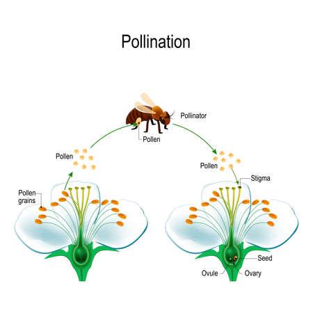 Der Prozess der Fremdbestäubung mit einem Bestäubertier (Biene). Anatomie einer Blume. Blumenteile. Detailliertes Diagramm mit Querschnitt. Reproduktion in Pflanze. nützlich für das Studium der Botanik und der naturwissenschaftlichen Bildung