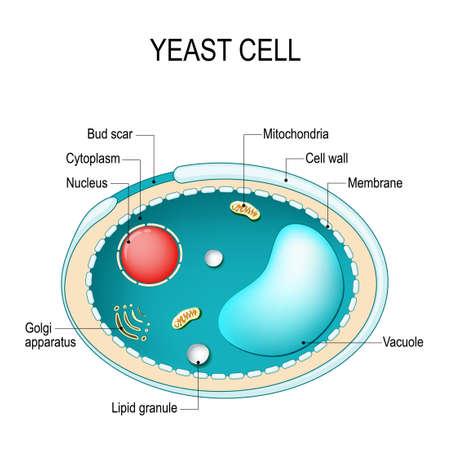 Przekrój komórki drożdży. Budowa komórki grzyba. Schemat wektorowy do użytku edukacyjnego, biologicznego i naukowego