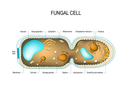 Cross section of a Fungal hyphae cells (septum; bud scar, mitochondrion; vacuole; nucleus; endoplasmic reticulum; lipid granule; membrane; golgi apparatus, and growth tip and vesicles). Vector diagram for educational, biological, and science use