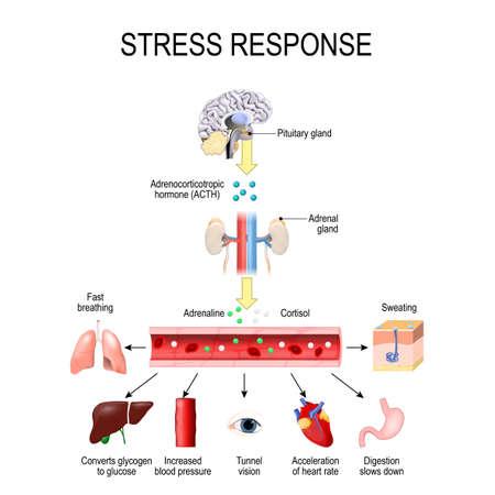 Stress-Reaktion. Aktivierung des Stresssystems. Stress ist eine der Hauptursachen für eine hohe Adrenalin- und Cortisolausschüttung. Hormone, die von der Medulla und der Nebennierenrinde produziert werden.