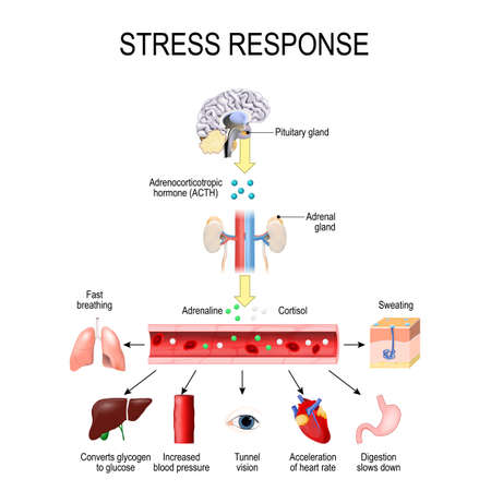 Stress response. Activation of the stress system. Stress is a main cause of high levels of adrenaline and cortisol secretion. hormones that produced by the medulla, and cortex of adrenal.