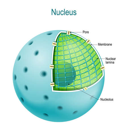 Structure of Nucleus. parts of the cell nucleus: Nuclear lamina, and membrane, pore, nucleoplasm, and nucleolus Illustration
