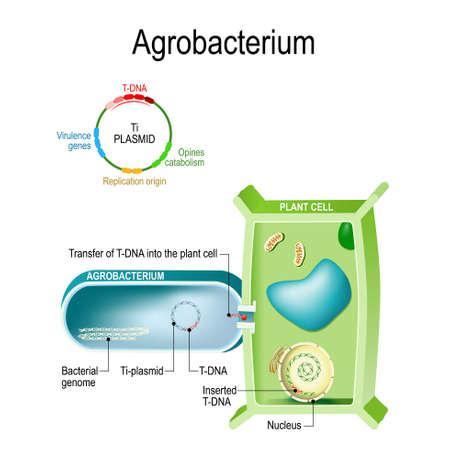 Overdracht van T-DNA in plantencel van Agrobacterium. Deze bacterie is een natuurlijke genetische ingenieur die een klein stukje DNA van een plasmide in de plantencel kan inbrengen. genetische transformatie. pathogene bacterie Agrobacterium is de veroorzaker van kroongalziekte op een plant. Vector Illustratie