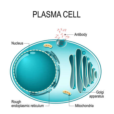 Anatomy of a Plasma cell, or B cell, or plasmocyte. Plasma cells is the White blood cells that secrete of antibodies. Vector diagram for educational, biological, and science use