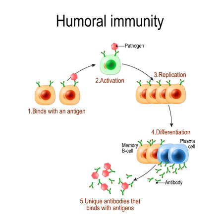 humoral immunity. antibody-mediated immunity. Viruse, Lymphocyte, antibody and antigen. Vector diagram for educational, biological, and science use