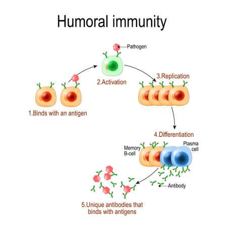 humorale immuniteit. antilichaam-gemedieerde immuniteit. Virus, lymfocyt, antilichaam en antigeen. Vectordiagram voor educatief, biologisch en wetenschappelijk gebruik