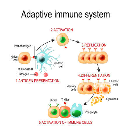 Adaptive immune system from Antigen presentation to activation of other immune cells. specific immune. T-helper and T-killer cells. Memory and Effector cells. Viruse, Lymphocyte, antibody and antigen. Vector diagram for educational, biological, and science use Foto de archivo - 119627956