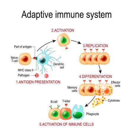 Sistema immunitario adattativo dalla presentazione dell'antigene all'attivazione di altre cellule immunitarie. immunitario specifico. Cellule T-helper e T-killer. Cellule di memoria ed effettrici. Virus, linfociti, anticorpi e antigeni. Diagramma vettoriale per uso educativo, biologico e scientifico