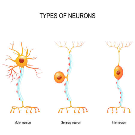 types of neurons: sensory and motor neurons, and interneuron. Humans nervous system. Illustration