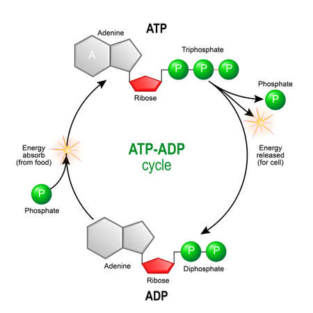 ATP ADP cycle. Adenosine triphosphate (ATP) is a organic chemical that provides energy for cell. intracellular energy transfer. Adenosine diphosphate (ADP) is organic compound for metabolism in cell. Vector diagram for educational, biological, medical and science use. model of molecule adenosine triphosphate, and Adenosine diphosphate