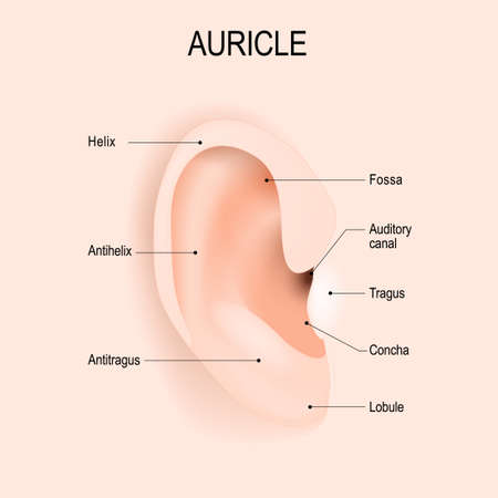 Auricle. Anatomy of the human ear. piercing. Vector diagram for educational, biological, medical and science use.
