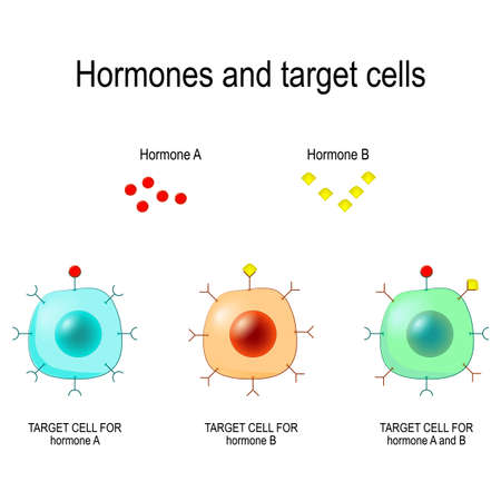 Hormones, Receptors and Target Cells. each type of hormone is designed only certain cells. These cells will have receptors on them that are specific for a certain hormone. Vector illustration for medical, biological, and educational use