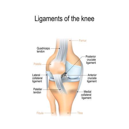 Ligamenten van de knie. Voorste en achterste kruisbanden, patella en quadriceps, pezen, mediale en laterale collaterale ligamenten. gezamenlijke anatomie. Vectorillustratie voor biologisch, medisch, wetenschappelijk en educatief gebruik