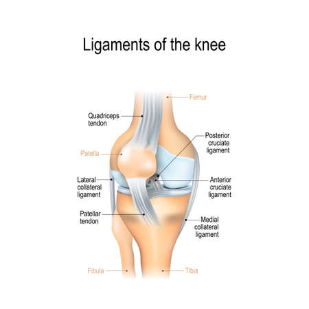 Ligaments of the knee. Anterior and Posterior cruciate ligaments, Patellar and Quadriceps, tendons, Medial and Lateral collateral ligaments. joint anatomy. Vector illustration for biological, medical, science and educational use