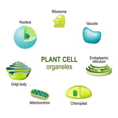 organites des cellules végétales. Illustration vectorielle à usage biologique, scientifique et éducatif Vecteurs