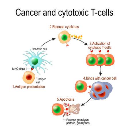 Nowotwory i cytotoksyczne komórki T. Limfocyt T zabija komórki rakowe. Komórki T (odpowiedzi immunologiczne) uwalniają perforynę i granzymy oraz atakują komórki rakowe. Poprzez działanie perforyny granzymy wnikają do cytoplazmy komórki docelowej i prowadzą do apoptozy (śmierci komórki).