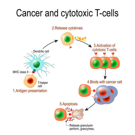 Cancer and cytotoxic T-cells. T lymphocyte kills cancer cells. T-cell (immune responses), release the perforin and granzymes, and attack cancerous cells. Through the action of perforin, granzymes enter the cytoplasm of the target cell, and lead to apoptosis (cell death).