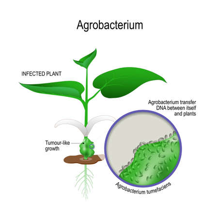 infected plant and close-up of Agrobacterium tumefaciens. agrobacterium transfer dna between itself and plants. genetic engineering. Vector illustration for biological, science, and medical use.